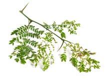 植物在白色背景隔绝的Gleditsiaor蝗虫 库存图片