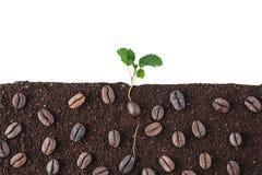 植物在白色背景隔绝的咖啡幼木 库存图片