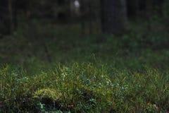 植物在秋天taiga森林里 免版税库存照片