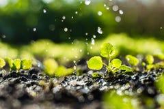 植物在领域发芽,并且农夫浇灌它 免版税库存照片