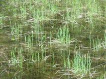 植物在水中 库存图片