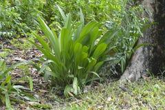 植物增长在Tologan, Padada,南达沃省,菲律宾 库存照片