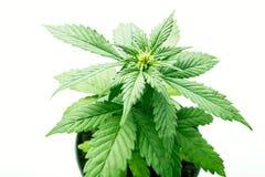 植物大麻的叶子,在罐耕种的大麻 免版税库存照片