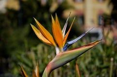 植物天堂鸟 库存照片
