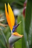 植物天堂鸟 库存图片