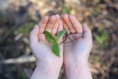 植物小树枝在孩子的手上 库存图片