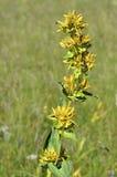 植物巨大黄色 免版税库存照片