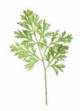 植物干秋天叶子隔绝了在白色backgrou的元素 库存图片