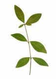 植物干秋天叶子隔绝了在白色backgrou的元素 免版税库存照片