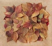 植物干秋天叶子,元素被计划的莓叶子 免版税库存图片