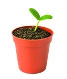 植物幼木花盆的在白色被隔绝 免版税库存图片