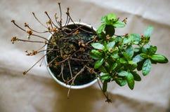 植物开花一个,另外一半死了 库存图片