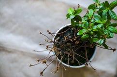 植物开花一个,另外一半死了 免版税库存照片