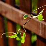 植物弯曲的年轻毒菌  库存图片