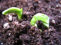 植物新芽  免版税库存照片