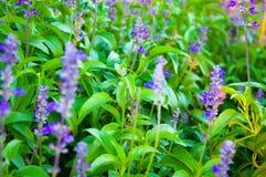 植物新鲜的淡紫色 图库摄影