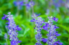 植物新鲜的淡紫色 免版税图库摄影