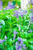 植物新鲜的淡紫色 免版税库存照片