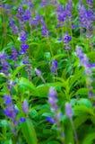 植物新鲜的淡紫色 库存图片