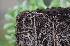 植物根 免版税库存照片