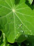 植物泪花 免版税库存照片