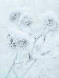 冻植物特写镜头 库存照片