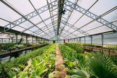 植物生长从在罐的土壤的棕榈树绿色新芽  库存图片