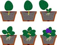 植物生长的再生产非洲紫罗兰(非洲堇)家庭植物 免版税库存图片