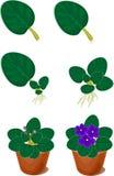 植物生长的再生产非洲紫罗兰(非洲堇)家庭植物 免版税图库摄影