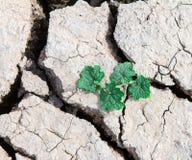 植物生长通过干破裂的泥 免版税库存照片