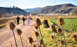 植物的一些干燥棕色花叫起毛机,在拉丁的川续断属fullonum,在沙子方式的路三个人是 图库摄影