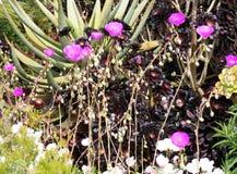 植物的五颜六色的仙人掌花 图库摄影