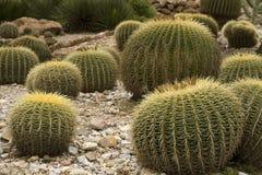 植物的仙人掌庭院 库存图片