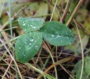 植物的叶子有水滴的 库存图片