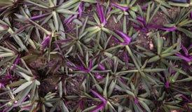 植物的婆罗门参,紫罗兰色和绿色在手段庭院里 免版税库存图片