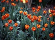 植物的布鲁克林庭院郁金香 免版税库存照片