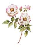 植物的玫瑰花水彩 免版税库存照片
