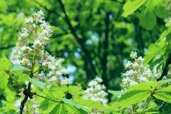 植物的秀丽 栗树播种的射击  库存图片
