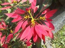 植物的红色叶子 库存照片