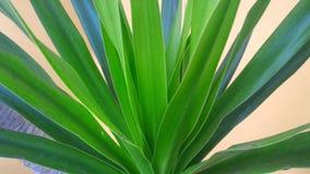 植物的美国钞票叶子 库存图片