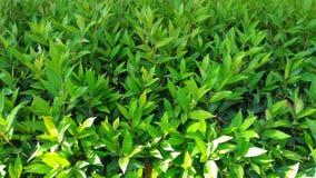 植物的绿色叶子 免版税库存图片