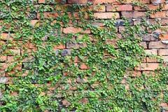 植物盖了红砖墙壁 免版税库存照片