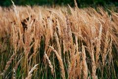 植物秋天背景路旁的,夏日在10月,与黄色小尖峰的绿草在路旁 库存图片