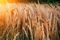 植物秋天背景路旁的,夏日在10月,与黄色小尖峰的绿草在路旁 图库摄影