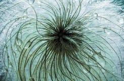 植物种子抽象宏观照片看起来象蒲公英 库存图片