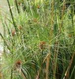 植物纸莎草在日本庭院里 免版税库存图片