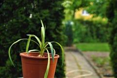 植物罐在庭院里 免版税库存照片