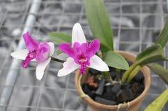 植物群兰花带淡红色的白色 库存图片