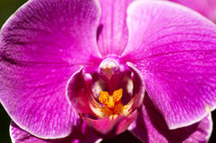 植物群兰花粉红色 图库摄影