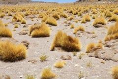 植物群在撒拉族塔拉,智利 免版税图库摄影